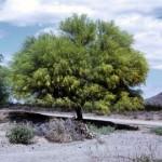 Aloravita palo verde