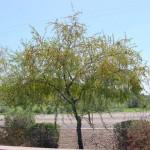 Aloravita sweet acacia