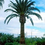 Aloravita canary island palm