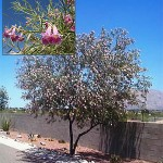 Aloravita desert willow