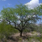 Aloravita velvet mesquite